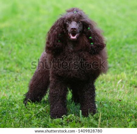 Brown poodle on green grass #1409828780