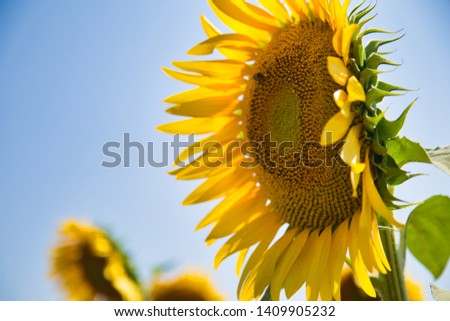 bee in macro photo of a sunflower #1409905232
