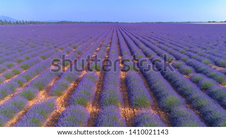 AERIAL: Bright purple rows of blooming lavender are damaged by mass tourism. Flying above the picturesque fields of fragrant lavender decaying as a result of masses of tourists coming to Provence. #1410021143