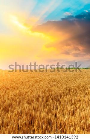 Wheat crop field sunset landscape #1410141392