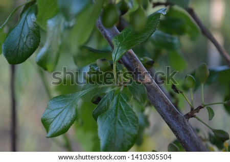 raw cranberry tree, tree branches with leaves and fruits #1410305504