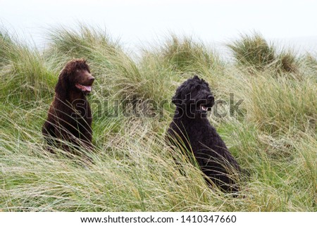 Two dogs sat in sand dunes. Irish Water Spaniel and Doodle #1410347660