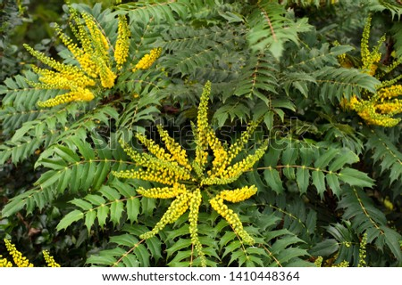 Flower racemes of the shrub Mahonia #1410448364