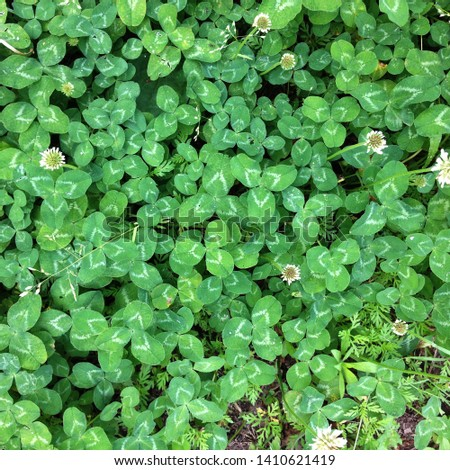 Macro photo of nature field blooming clover. Background texture green clover with white flowers. An image of a field of flowering clover. #1410621419