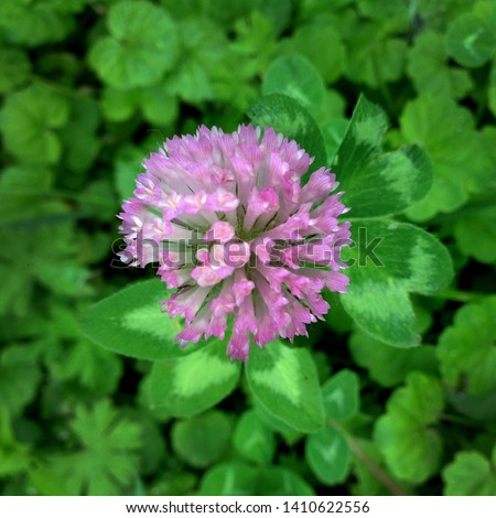 Macro photo nature field blooming red clover flower. Background texture green clover with pink flowers. An image of a field of flowering clover. #1410622556