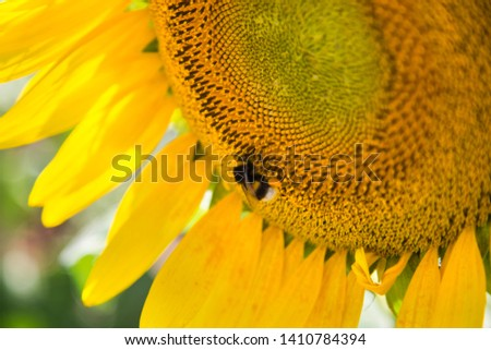 bee in macro photo of a sunflower #1410784394