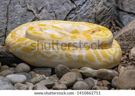 Close-up picture of Burmese Python (python bivittatus)