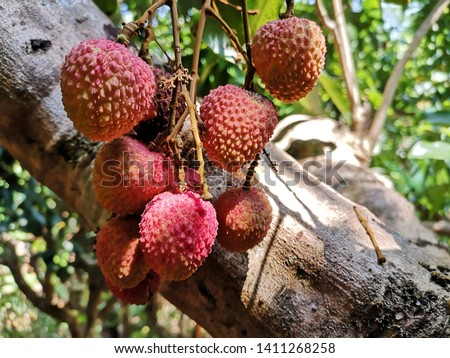 Lychee On Tree. Lychee, Fresh lychee and peeled showing the red skin and white flesh with green leaf . Lychee tree in the harvest season. #1411268258