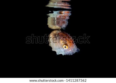 Paper nautilus with reflection on the water surface, Argonauta argo, the argonauts (genus Argonauta, the only extant genus in the family Argonautidae) are a group of pelagic octopuses