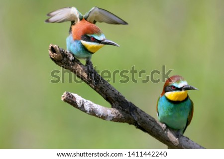 Portraits of bright and saturated color of European bee-eaters taken on a blurred beautiful background. #1411442240