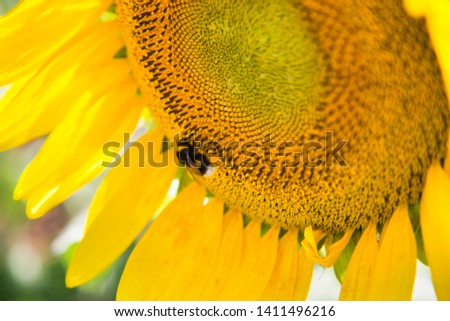 bee in macro photo of a sunflower #1411496216