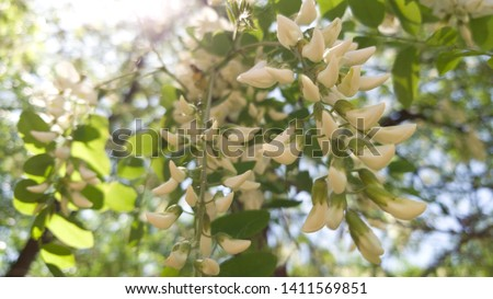 Blooming white acacia against the sky and a ray of sun through the leaves #1411569851
