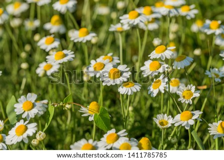 Bloom. Chamomile. Blooming chamomile field, chamomile flowers on  meadow in summer, selective focus, blur. Beautiful nature scene with blooming medical daisies on sun day. Beautiful meadow background #1411785785