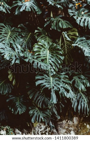 Tropical green leaves background, Monstera Deliciosa leaf on wall with dark toning, jungle pattern concept background, close up. Green leaves of Monstera philodendron plant growing in wild. #1411800389