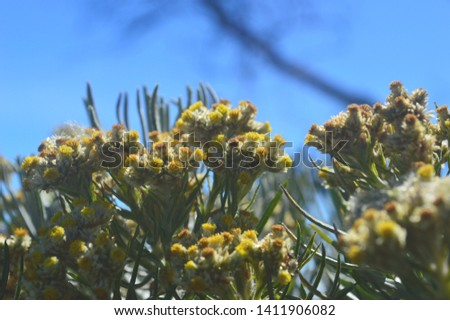 Javanese edelweiss flowers on Sumbing Mountain #1411906082