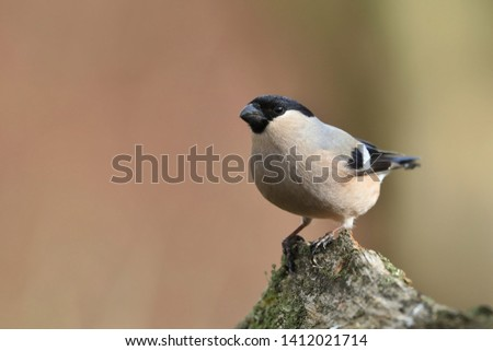 Eurasian bullfinch sits on the branch. Female bullfinch in the nature habitat. Pyrrhula pyrrhula . Wildlife scene from nature #1412021714