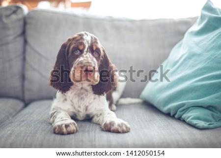 Puppy English springer spaniel siting on grey couch. Funny dog best friend . Hypnotize eye. #1412050154
