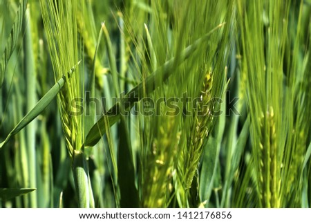Beautiful close up of an agricultural wheat crop field moving in the wind #1412176856