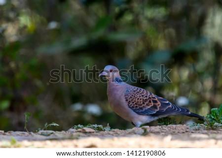 European turtle dove , Bird picture captured in Sattal, India