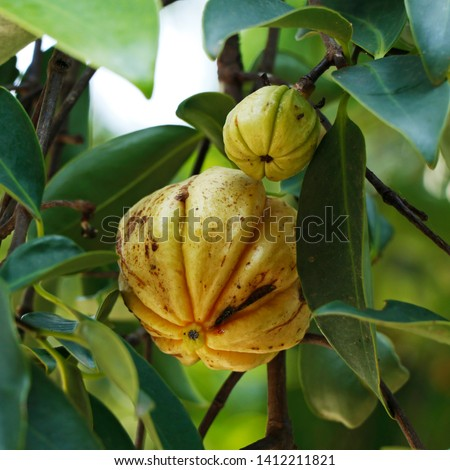 Garcinia gummi-gutta is a tropical species of Garcinia native to Indonesia. Common names include Garcinia cambogia (a former scientific name), as well as brindleberry, Malabar tamarind, and kudam puli #1412211821