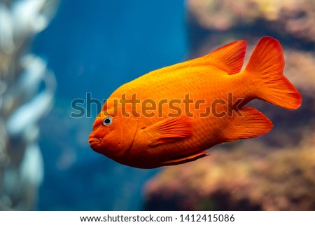 Garibaldi fish (Hypsypops rubicundus), a bright orange type of damselfish, are the official marine fish of California and are protected in the local waters. The are numerous on Santa Catalina Island. Royalty-Free Stock Photo #1412415086