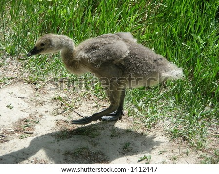 young Canada Goose #1412447