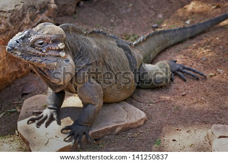 The Rhinoceros Iguana (Cyclura cornuta) is a threatened species of lizard in the family Iguanidae that is primarily found on the Caribbean island of Hispaniola (Republic of Haiti & Dominican Republic) #141250837