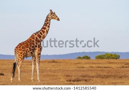 Nubian Giraffe, Giraffa camelopardalis camelopardalis, male, Critically endangered animal. On plains at Masai Mara National Reserve, Kenya, East Africa. Oxpecker birds on neck #1412585540