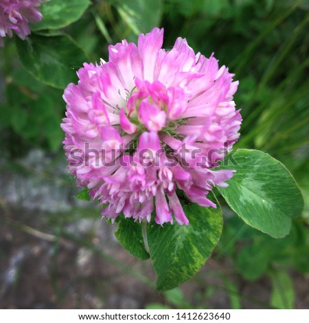 Macro photo of nature plant red flower clover. Background texture of a blooming wild flower clover. Image of field red flower clover #1412623640