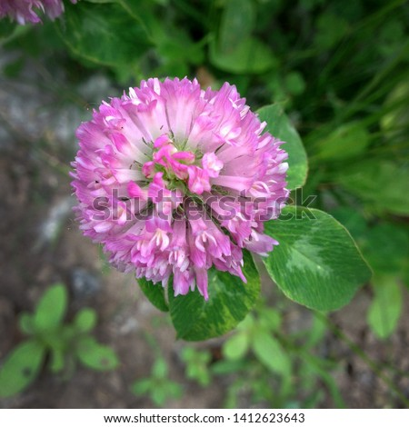 Macro photo of nature plant flower clover. Background texture of a blooming wild flower clover. Image of field red flower clover #1412623643
