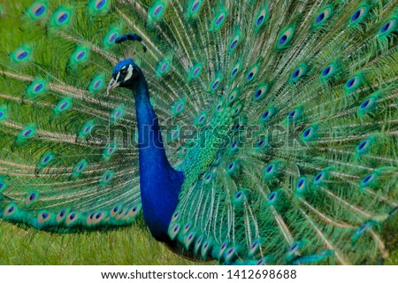 Peacock showing beautiful feathers fanning #1412698688