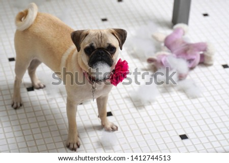 A 6 month old Pug puppy with a magenta colored flower collar. She has just torn up a dog toy and has toy stuffing on her mouth. #1412744513