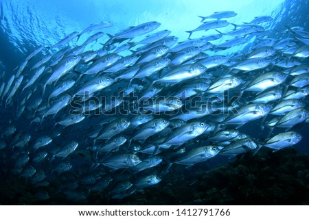 Amazing underwater world - Bigeye Trevally (Caranx sexfasciatus). A big school of fish. Diving, wide angle photography. Raja Ampat, Indonesia.