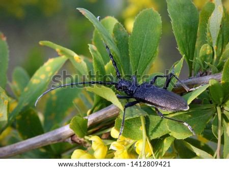 The capricorn beetle (Cerambyx scopolii) is one of the largest beetles in Europe #1412809421