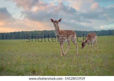 Young roe deer graze on the field near the forest #1412851919
