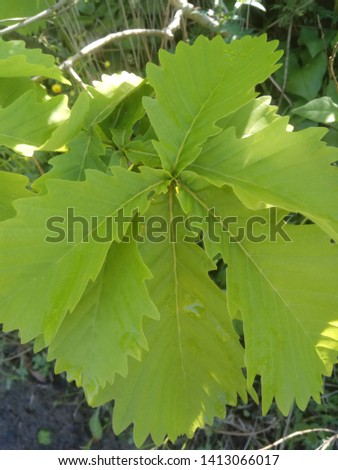 fresh leaves of oak tree in the forest #1413066017