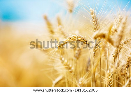 Wheat closeup. Wheat field. Background of ripening ears of wheat. Harvest and food concept. #1413162005