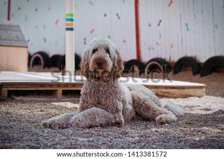 Lovely brown labradoodle looks stunning  #1413381572