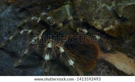 Tarantula Spider. Cute big Tarantula spider in zoo
