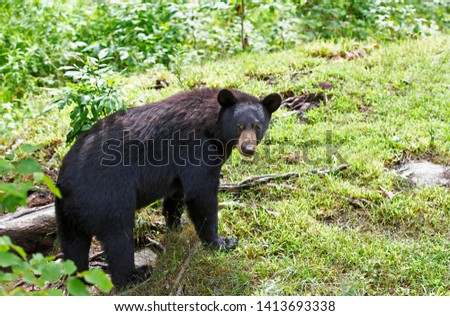 Black Bear (Ursus americans) walking through the meadow in summer in Canada #1413693338