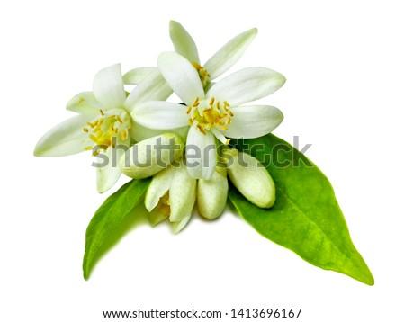 Neroli (Citrus aurantium) flower isolated on white. Fresh white neroli flowers, green leaf. Natural orange flower for attar perfume (neroli essential oil) isolated macro closeup. Flowers, buds & leaf #1413696167