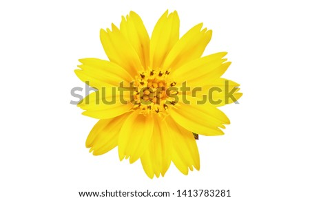 Singapore daisy flower, Yellow flower isolated on white background, with clipping path  #1413783281