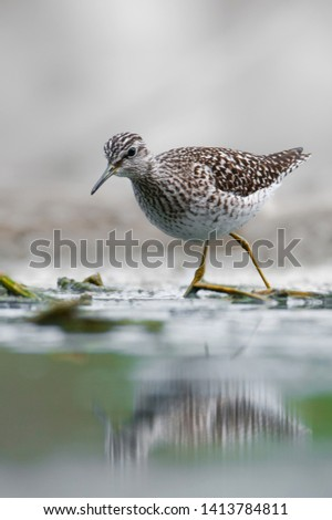 Wood sandpiper (Tringa glareola), medium-sized wading bird from a beautiful pond in South Moravia, Czech Republic