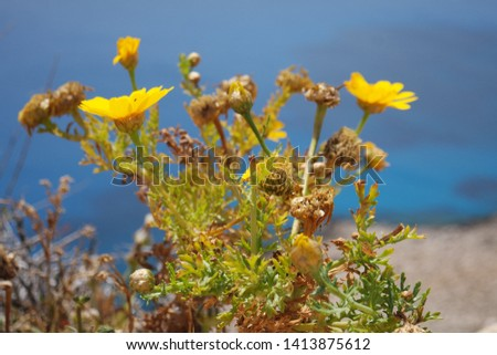 A yellow flower on the Cyprus cost #1413875612