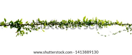Natural ivy vine that twists along the electric wire on a separate white background. #1413889130