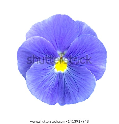 blue lilac Pansies flower isolated