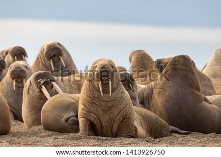 Walrus on sand beach, Svalbard