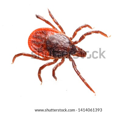 Tick isolated on white background. Dangerous parasite, vehicle of many infections.