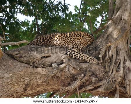 cheetah tree africa safari wild #1414092497