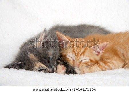 Close up diluted calico kitten and orange ginger tabby kitten sleeping on sheepskin blanket snuggled up together. #1414175156